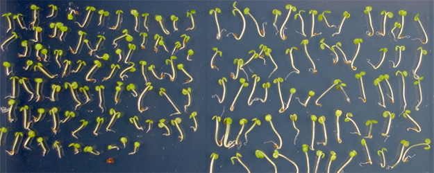 Light-regulated hypocotyl length in Arabidopsis